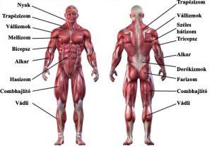 Testünk izmai