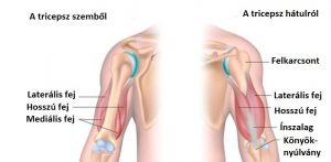 Tricepsz anatómia
